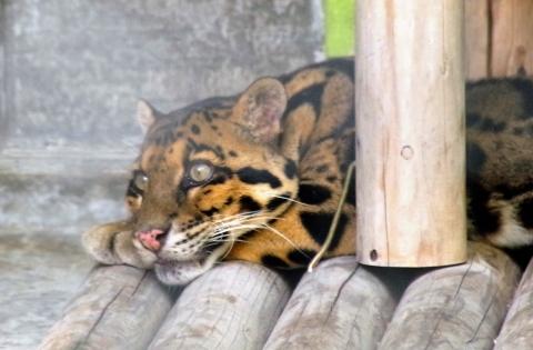 福岡市動物園のウンピョウ ジュールを