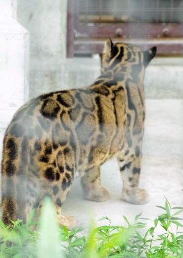 福岡市動物園のウンピョウ ジュール