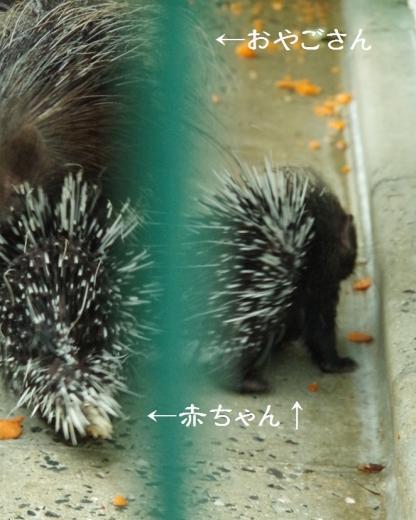 アフリカタテガミヤマアラシAfrican Porcupine / 齧歯目 ヤマアラシ科