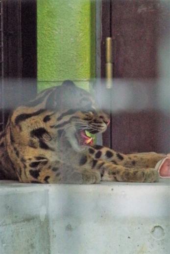 福岡市動物園のウンピョウ イーナ