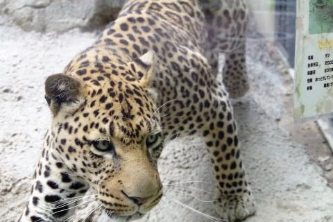 福岡市動物園 ふくおかのデッカイ猫