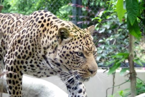 福岡市動物園のヒョウ