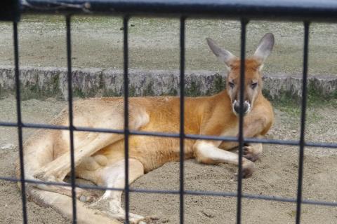 福岡市動物園のカンガルー君