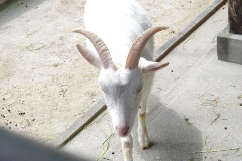 福岡市動物園のヤギさん