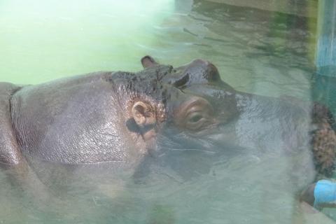福岡市動物園のカバ