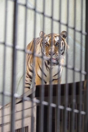 福岡市動物園のトラ君