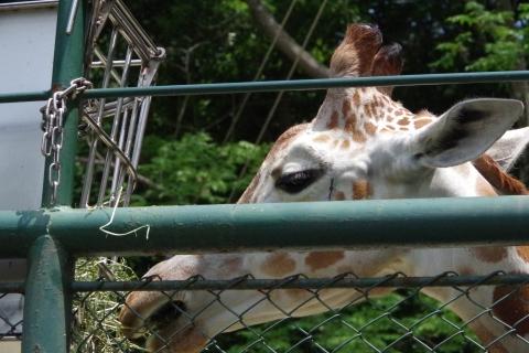 福岡市動物園のキリンさん