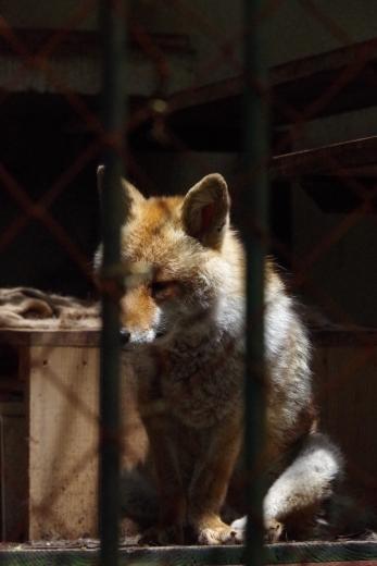 福岡市動物園の、わんこみたいな狐さん