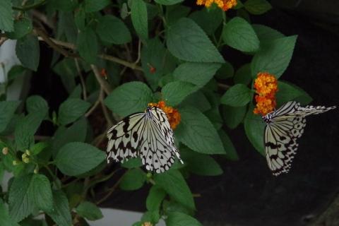 妊活中の蝶々