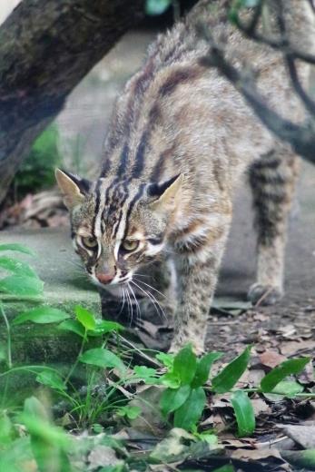 福岡市動物園のツシマヤマネコ