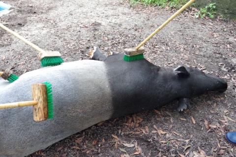 福岡市動物園のマレーバクさん