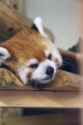 福岡市動物園のレッサーパンダ・のぞむ君