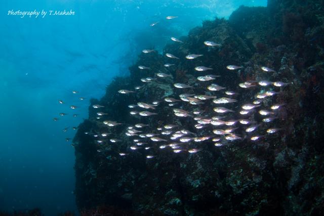 伊豆海洋公園のオクリダシ