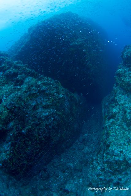 慶良間諸島中瀬のキビナゴの群れ