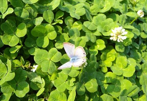 160430 クローバーと蝶