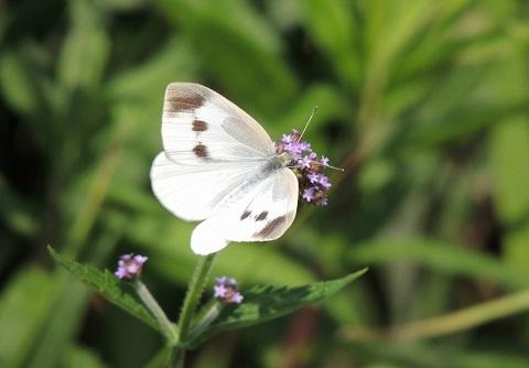 160907 紋白蝶