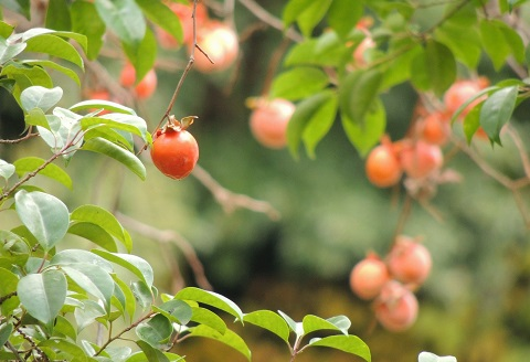 161007 柿の木