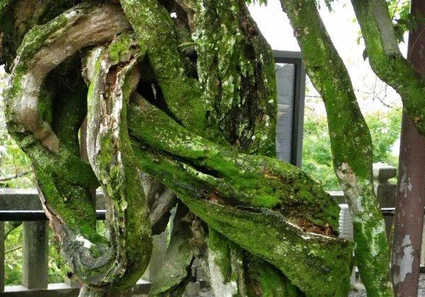 からまる樹