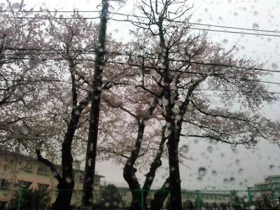 20160407桜