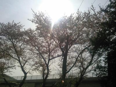 20160409桜