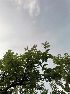 20160420柿の若葉と空