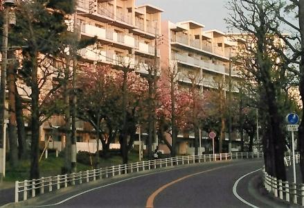 20160421八重桜