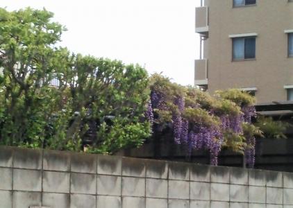 20160426藤の花
