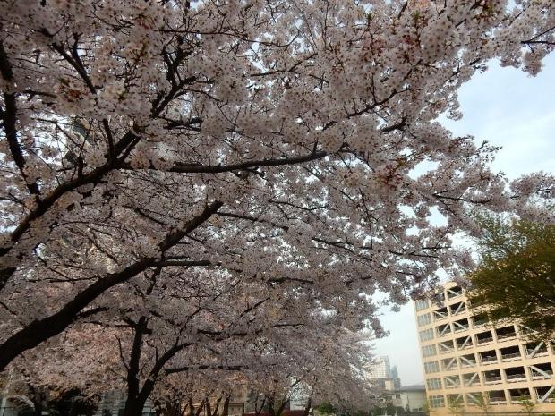 桜2016-4-6 (1)