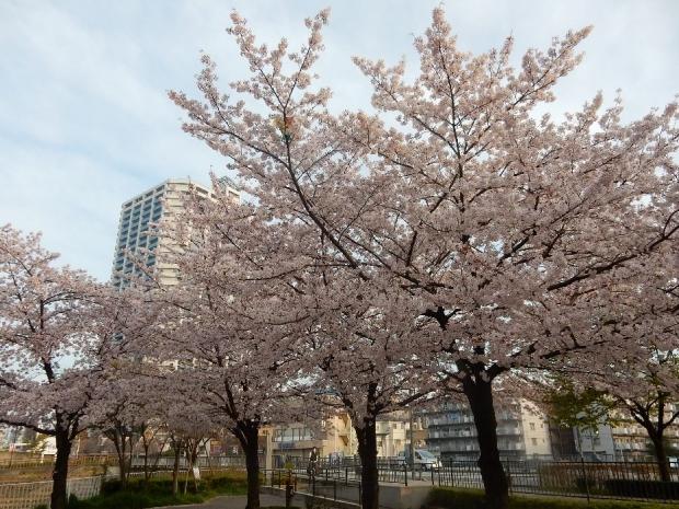 桜2016-4-6 (2)