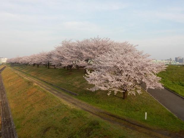 桜2016-4-6 (5)