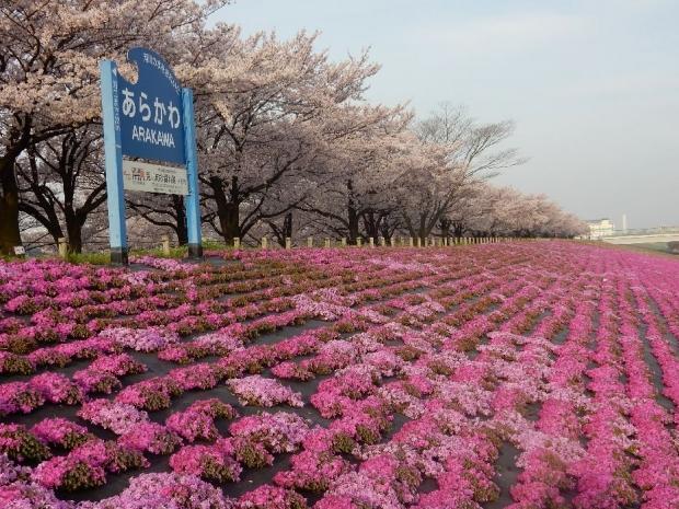 桜2016-4-6 (9)