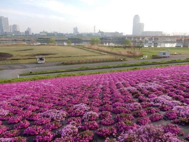 桜2016-4-6 (24)