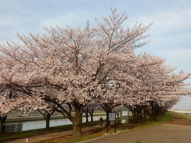 桜2016-4-6 (12)