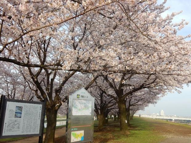 桜2016-4-6 (15)