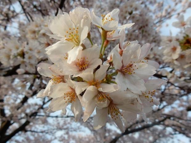 桜2016-4-6 (27)