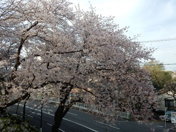 桜2016-4-6 (62)