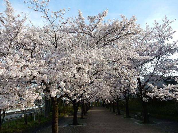 桜2016-4-6 (76)