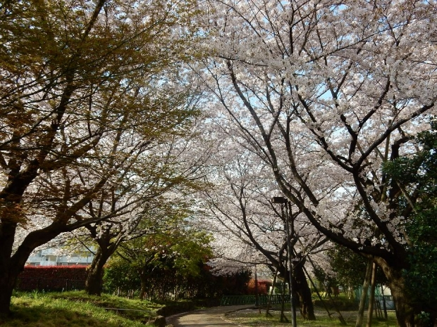 桜2016-4-6 (82)