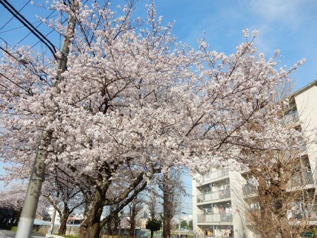 桜2016-4-6 (86)