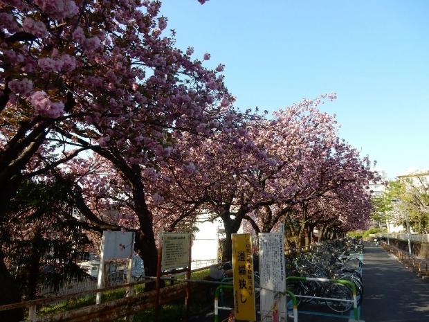 トンネル上桜4-15 (3)