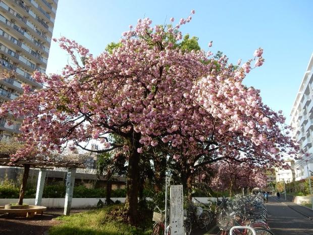 トンネル上桜4-15 (11)