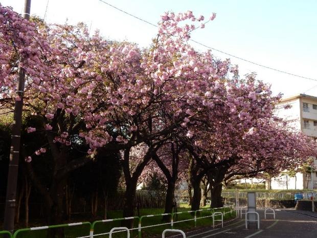 トンネル上桜4-15 (19)