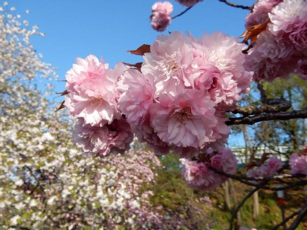 トンネル上桜4-15 (49)