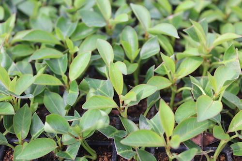 マンデビラ サマーティエラ  育種 生産 販売 松原園芸 オリジナル品種