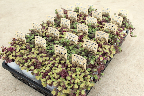 カリシア レペンス(ツユクサ科 Callisia repens)  生産 販売 松原園芸