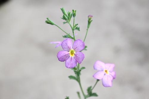ジャメスブリテニア Jamesbrittenia 交配 育種 オリジナル品種 生産 松原園芸