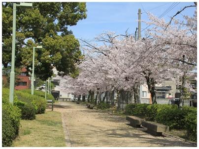 善通寺市役所桜