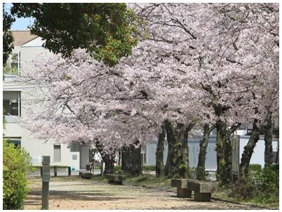 善通寺市役所桜3