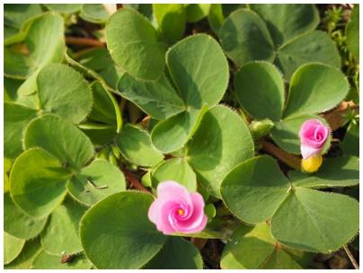 オキザリスの花ピンク1