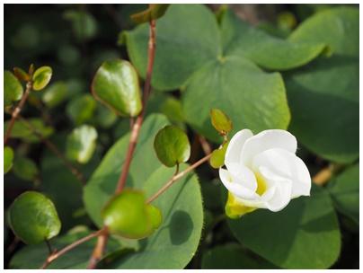 オキザリスの花白1